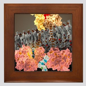 Growth hormone receptor, molecular mod Framed Tile