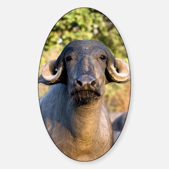 Domestic Asian water buffalo Sticker (Oval)