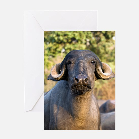 Domestic Asian water buffalo Greeting Card