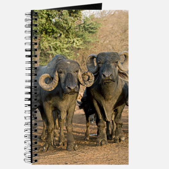 Domestic Asian water buffalo Journal