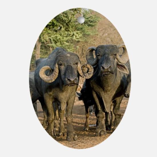 Domestic Asian water buffalo Oval Ornament