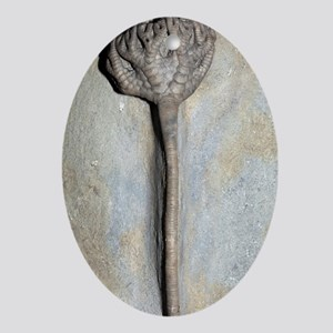 Fossil crinoid Oval Ornament