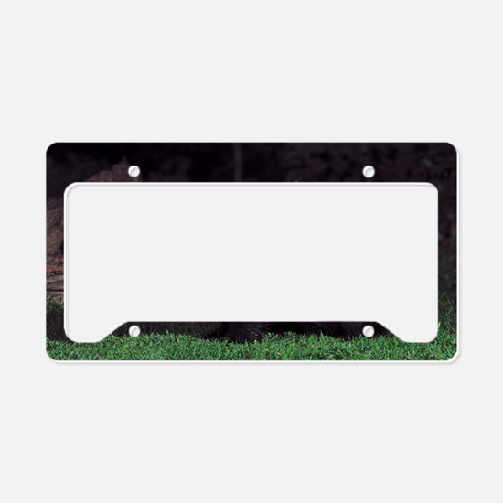 European badger at dusk License Plate Holder