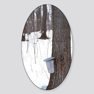 Collecting maple tree sap Sticker (Oval)