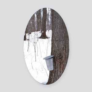 Collecting maple tree sap Oval Car Magnet