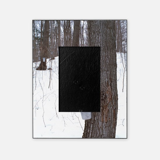 Collecting maple tree sap Picture Frame