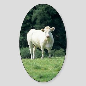 Charolais cow Sticker (Oval)