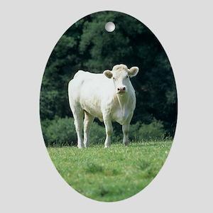 Charolais cow Oval Ornament
