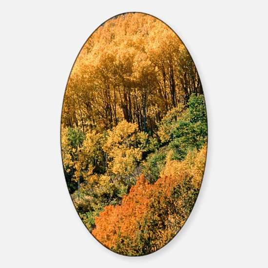Autumn aspen trees Sticker (Oval)