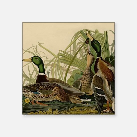 Mallard duck Audubon Bird Vintage Print Sticker