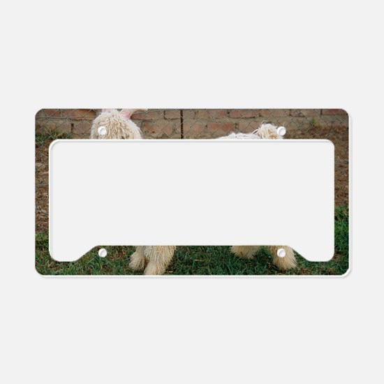 Angora goat License Plate Holder