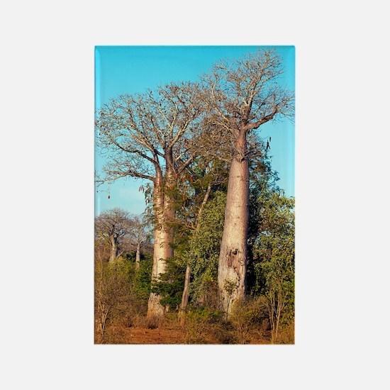 Adansonia madagascariensis baobab Rectangle Magnet