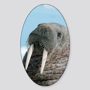Atlantic walrus Sticker (Oval)