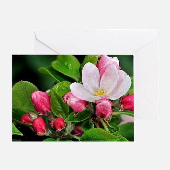 Apple (Malus domestica) blossom Greeting Card