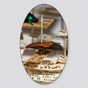 1840 click beetle ex Hope Westwood  Sticker (Oval)