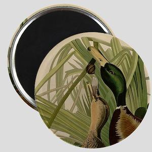 Mallard duck Audubon Bird Vintage Print Magnets