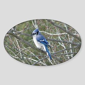 Bluejay Sticker (Oval)