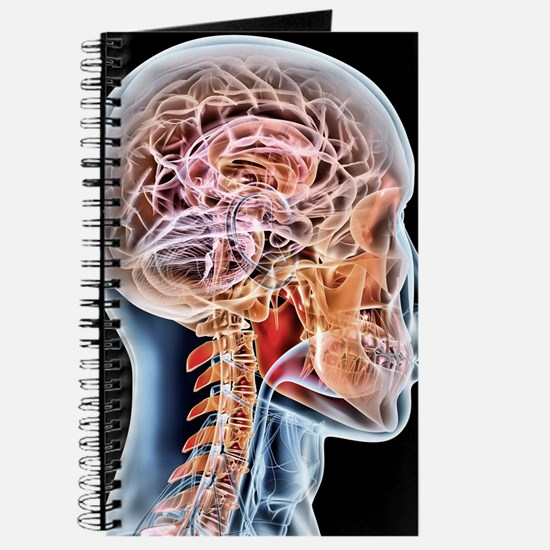 Internal brain anatomy, artwork Journal