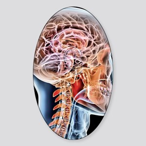 Internal brain anatomy, artwork Sticker (Oval)