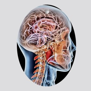 Internal brain anatomy, artwork Oval Ornament