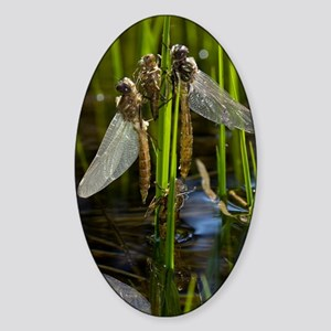 Newly-emerged dragonflies Sticker (Oval)