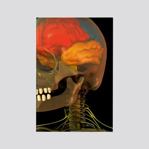 Skull and brain anatomy, artwork Rectangle Magnet