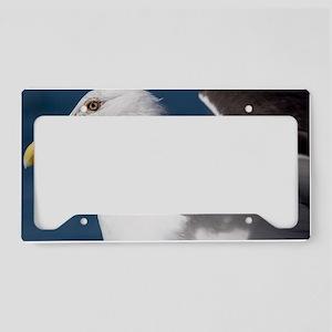 Kelp gull License Plate Holder
