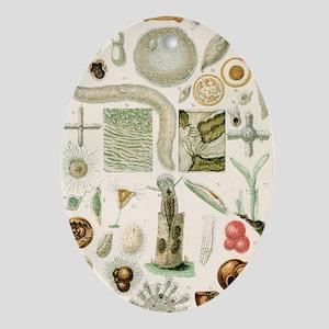 Protozoan microscopy, 19th century Oval Ornament