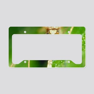 Macrophoto of malaria mosquit License Plate Holder