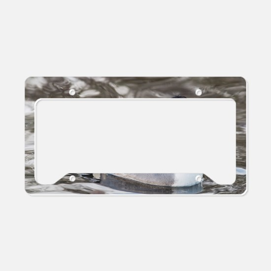 Male pintail License Plate Holder