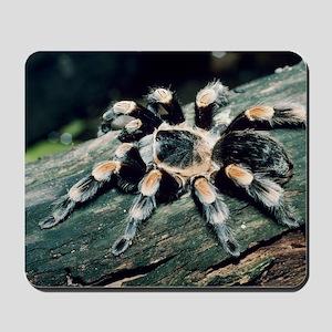 Mexican redknee tarantula Mousepad