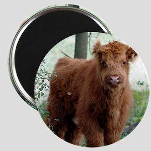Highland Calf  Magnet