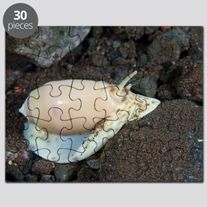 Olive shell snail Puzzle