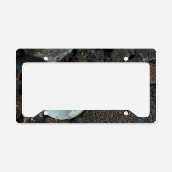 Olive shell snail License Plate Holder