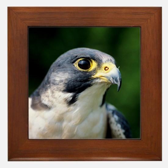 Peregrine falcon Framed Tile