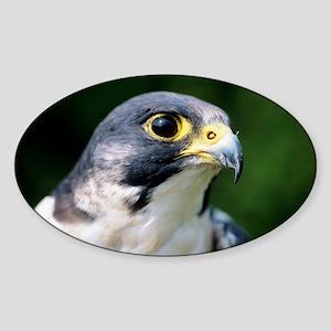 Peregrine falcon Sticker (Oval)