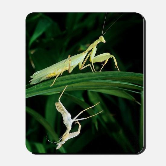 Praying mantis with its shed skin Mousepad