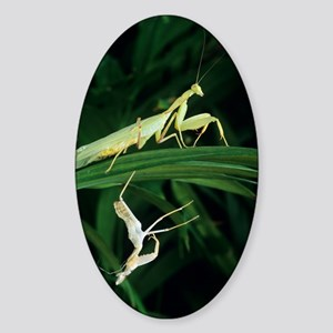 Praying mantis with its shed skin Sticker (Oval)