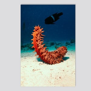 Sea cucumber Postcards (Package of 8)