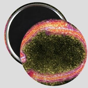 Ebola virus particles, TEM Magnet