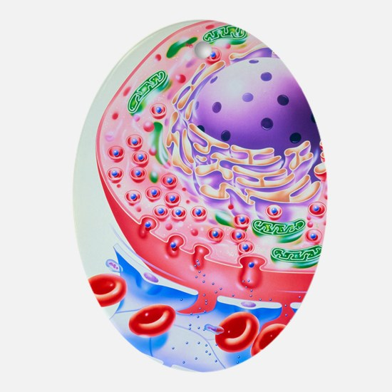 Artwork of insulin granules released Oval Ornament
