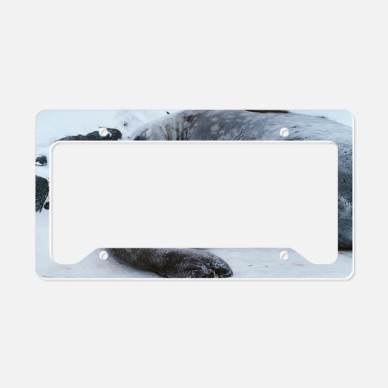 Weddell seal mother with pup License Plate Holder