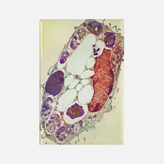 Leishmania protozoa, TEM Rectangle Magnet