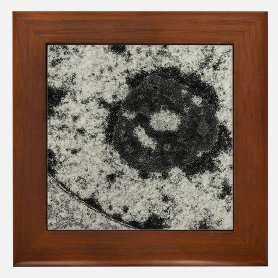 Nucleolus and nuclear membrane in mous Framed Tile