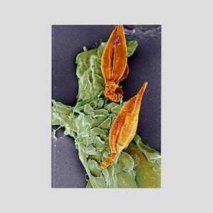 Protozoan infecting macrophage, S Rectangle Magnet