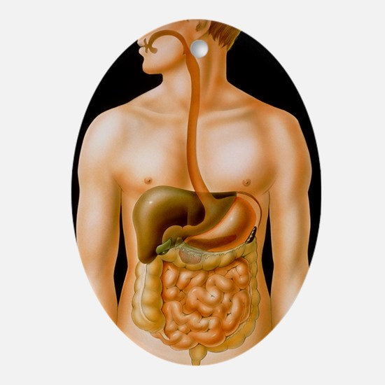 Artwork of the human digestive syste Oval Ornament