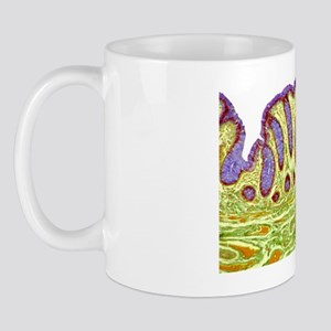 Colon lining, light micrograph Mug