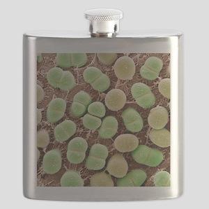 Algae, SEM Flask