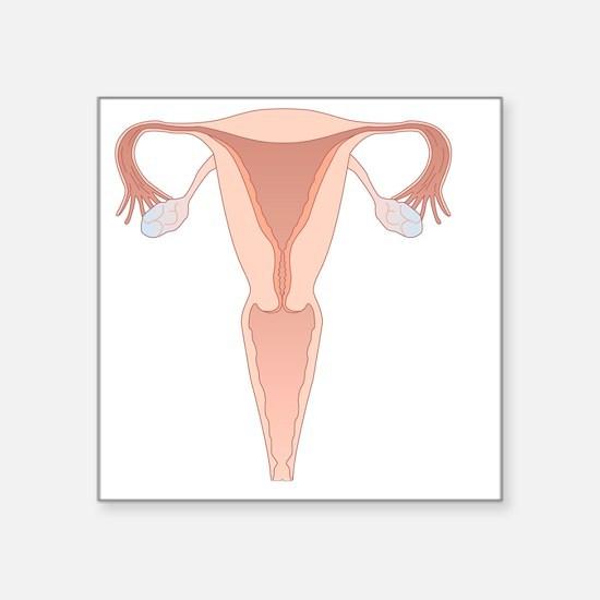"Female reproductive system, Square Sticker 3"" x 3"""