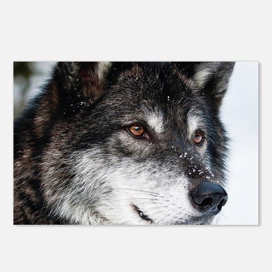 Beautiful Grey Wolf Postcards (Package of 8)